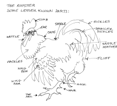 Male External Anatomy External Anatomy Of A Chicken Images Learn Human Anatomy Image