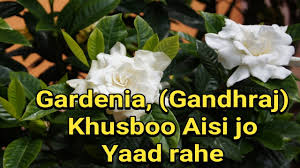 how to grow gardenia jasminoides gandhraj plant in pot