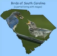 South Carolina birds images Birds of south carolina home page 1 jpg