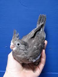 cockatiel pictures baby birds birds varied mutations