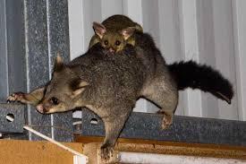 Possum In My Backyard Koalas In My Backyard Or What Is Biodiversity Cauldrons And
