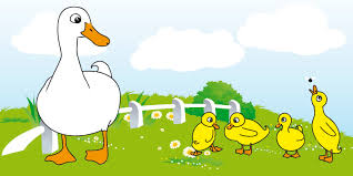 free mother duck with ducklings stock photo freeimages com