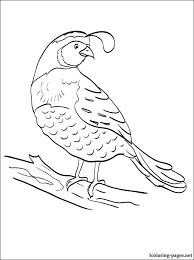 quail coloring pages preschool preschool kindergarten