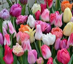 tulips flowers pastel stretch tulip mixture white flower farm