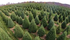 integrated pest management ipm for christmas tree production