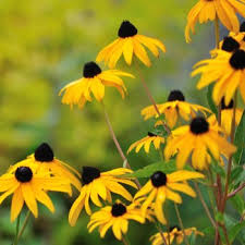 the flowers of summer at a list of perennial flowers that bloom all summer with pictures