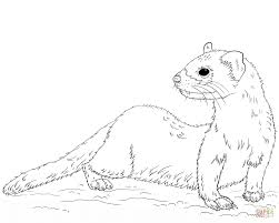 black footed ferret coloring page free printable coloring pages