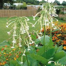 ornamental tobacco plant project range roceco ecological