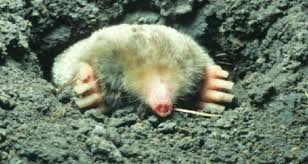 How To Get Rid Of Moles In The Backyard by Spring Traps The Best Of Way To Rid Your Lawn Of Moles