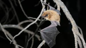 current bat research grand canyon national park u s national