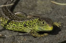 great places to see reptiles the wildlife trusts