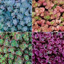 Backyard Ground Cover Options Best 25 Succulent Ground Cover Ideas On Pinterest Sedum Ground