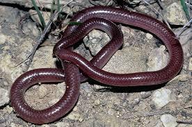 Plains Blind Snake Experiencing Life Sauropsida