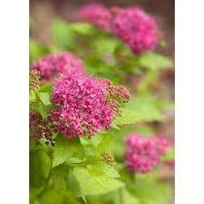 Flowering Privacy Shrubs - shrubs trees u0026 bushes the home depot