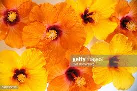 Yellow Hibiscus Flowers - orange and yellow hibiscus flowers w red centers over lapping