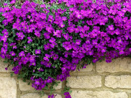 wall flowers garden plant of the month of march wallflowers mygarden org
