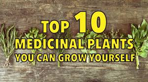 native american healing herbs plants top 10 medicinal plants you can grow yourself