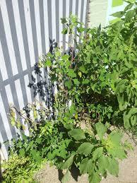 organic weed killer does it exist u2013 otr homegrown