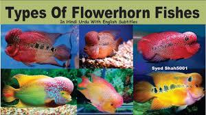types of aquarium types of flowerhorn fish u0026 it u0027s characters in hindi urdu with