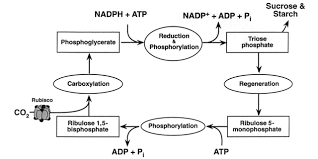 What Happens During The Light Reactions Of Photosynthesis The Paper