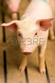 pig sty stock photos u0026 pictures royalty free pig sty images