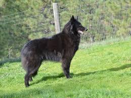 4 belgian sheepdogs home girls