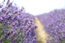 Most Fragrant Lavender Plants 30 Great Lavender Plant Recipes And Uses How To Grow Lavender