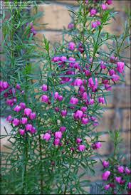 australian garden flowers 184 besten native garden bilder auf pinterest