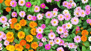 Zinnias Flowers How To Grow Bright Beautiful Zinnias Rodale U0027s Organic Life