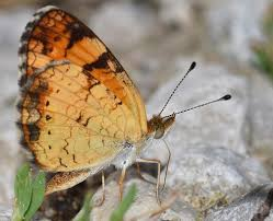 why they call them brushfoot butterflies the roused