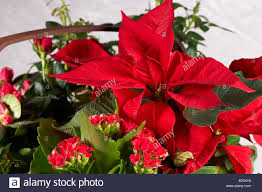 christmas plants still of christmas plants in basket poinsettia flaming