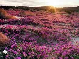 anza borrego wildflowers start booking a trip to see california wildflowers now condé