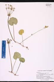 native plants of new york hydrocotyle bonariensis species page isb atlas of florida plants