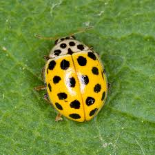 psyllobora vigintiduopunctata wikipedia