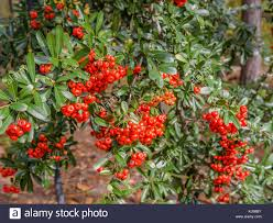shepherdia argentea silver buffaloberry california thorny shrubs stock photos u0026 thorny shrubs stock images alamy