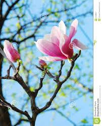 magnolia tree flowers royalty free stock photography image 24186327
