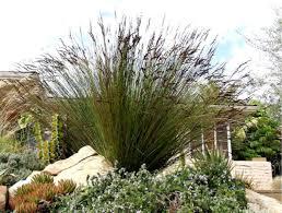 elegia tectorum indigenous plants plants search