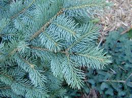 blue spruce colorado blue spruce lower elkhorn nrd