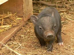 teacup pigs step by step keeping guide farming style