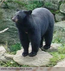 West Virginia wild animals images American black bear ursus americanus jpg