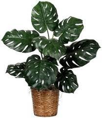 Common Tropical House Plants - las 18 mejores plantas grandes de interior monstera deliciosa