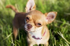 long hair chihuahua hair growth what to expect teacup chihuahua 8 facts about this dog teacupdogdaily