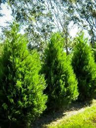 Backyard Privacy Trees Buy Spartan Juniper Online Arrive Alive Guarantee Free Shipping