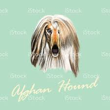 afghan hound vector illustrated portrait of afghan hound dog stock vector art