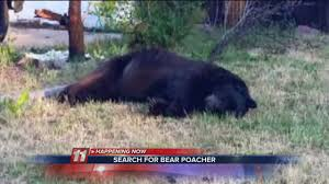 colorado authorities seek poacher that killed 400 pound bear ny