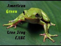 green tree frog care
