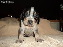 bluetick coonhound gifts 301 best bluetick coonhound images on pinterest bluetick