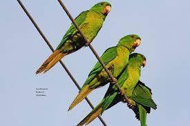 green parakeets u0027wild u0027 wild birds birds and blooms