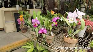 cattleya orchids cattleya orchids plants in quezon memorial circle in quezon city