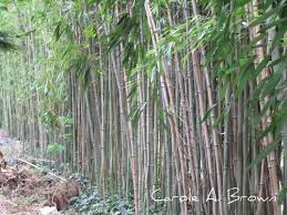 hated plants bamboo